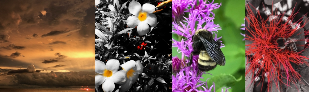4 picture collage: venice beach sunset picture, filtered flower, purple yellow bumblebee picture, edited bee red flower picture